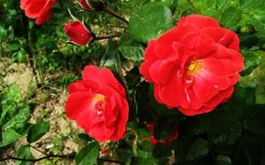Picture Roses, Roses, Red roses, Red roses
