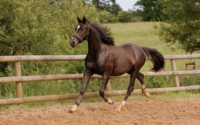 Picture horse, allure, movement, brown, lynx, running, corral, summer, horse