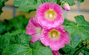 Picture Flowers, flowering, Mallow