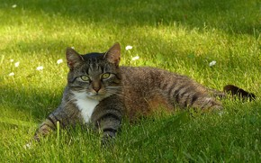 Picture resting, tabby cat, lying in the grass