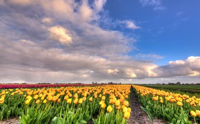Picture field, clouds, landscape, flowers, nature, tulips