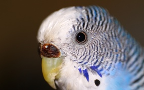 Picture eyes, animal, parrot, wavy parrot