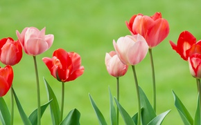 Picture background, tulips, buds