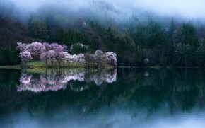 Picture water, trees, Sakura, photographer Comyu Matsuoka, spring bloom