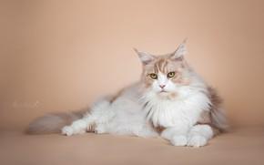 Picture cat, cat, look, background, portrait, photoshoot, Maine Coon