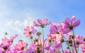 Wallpaper cosmos, pink, summer, field, summer, field, pink, the sun, flowers, flowers