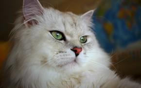 Picture eyes, cat, British