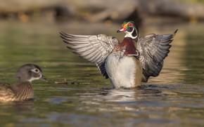 Picture water, lake, Mandarin duck