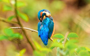 Picture greens, leaves, nature, pose, background, bird, branch, blur, bird, blue, bokeh, Kingfisher, bright plumage