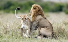 Picture Leo, lioness, wildlife