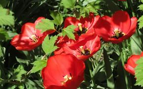 Picture tulips, red, flowerbed, April, spring 2018, Meduzanol ©