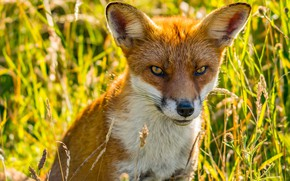 Picture greens, grass, eyes, look, face, portrait, Fox, red, bright, wildlife