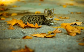 Picture fallen leaves, tabby cat, on the pavement