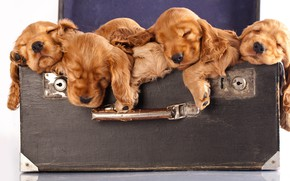 Picture puppies, suitcase, red, Spaniel, cute