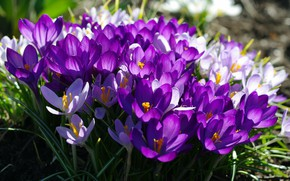 Picture macro, joy, flowers, nature, tenderness, color, plants, crocuses, primroses, the color purple, many, flora, the ...