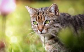 Wallpaper cat, muzzle, cat, look, portrait