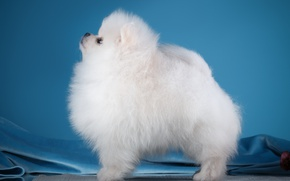 Picture white, profile, Spitz