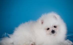 Picture white, puppy, Spitz