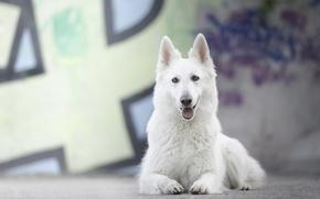 Picture dog, bokeh, The white Swiss shepherd dog