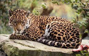 Wallpaper animal, Jaguar, stay, nature