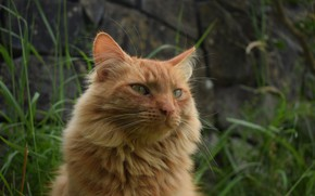 Picture cat, grass, red