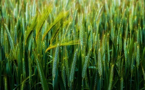 Picture wheat, macro, spikelets, green background