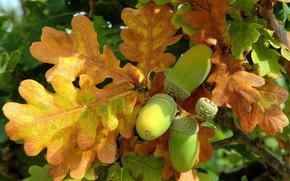 Picture autumn, mood, oak, acorn