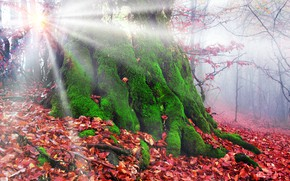 Picture autumn, forest, leaves, the sun, rays, trees, fog, moss, Ukraine, Transcarpathia