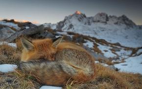 Wallpaper Savoie, France, Vanoise, nature, mountains, Fox, Fox