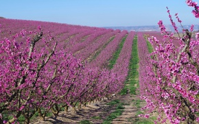 Picture spring, garden, Spain, flowering, apricots