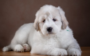 Picture white, wool, puppy