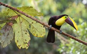 Picture bird, branch, Toucan