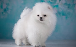 Picture white, fluffy, puppy, Spitz