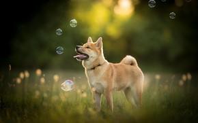 Picture nature, dog, bubbles, dog