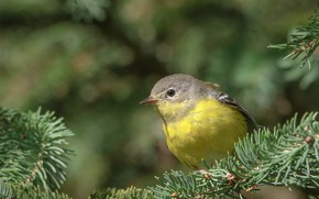 Picture Nature, Bird, Branches, Spruce