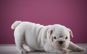 Picture Dog, pink background, baby, baby