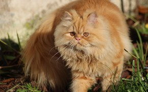 Picture fluffy, red cat, cat