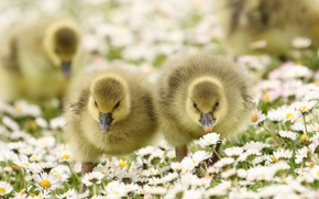 Picture flowers, nature, beauty, meadow, kids, geese