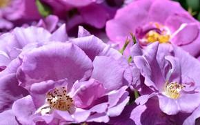 Picture purple, roses, petals