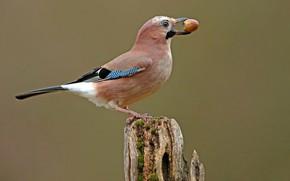 Picture birds, stump, acorn, Jay
