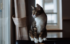 Picture cat, cat, look, pose, grey, room, window, curtains, sitting, striped