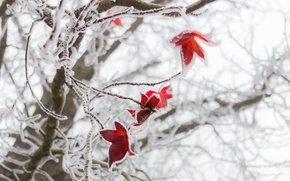 Picture winter, frost, macro, foliage, red