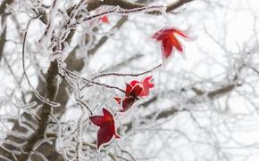 Wallpaper winter, frost, macro, foliage, red