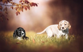 Picture puppies, a couple, doggie, dogs, bokeh