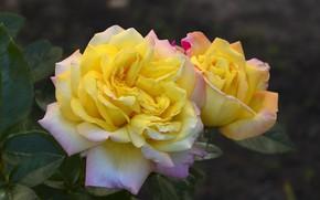 Picture autumn, flowers, roses, beauty, decoration