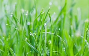 Picture grass, drops, Rosa, spring