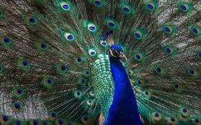Wallpaper animals, look, light, blue, green, bird, tail, peacock, handsome, breast, opened, fluffed