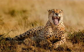 Wallpaper grass, mouth, Cheetah, Africa