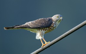 Picture birds, predator, tree-creeper hawk