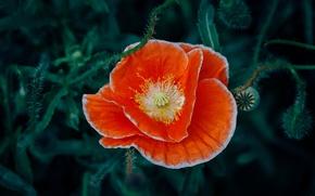 Picture flower, orange, Mac, red petals